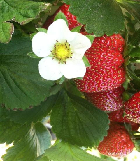 Bentoriffic-Florida Strawberries watermark